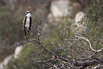 Lake Hodges, Escondido, San Diego, California; a juvenile Osprey perched on a tree branch on the hillside above the lake in early morning sunlight