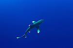 Oceanic whitetip shark-Requin longimane (Carcharhinus longimanus) of Red Sea, Egypt