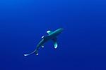 Oceanic whitetip shark-Requin longimane (Carcharhinus longimanus) of Red Sea, Egypt
