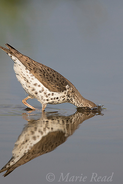 Spotted Sandpiper (Actitis macularia), breeding plumage plunges its head underwater to capture prey, Caroline, New York, USA