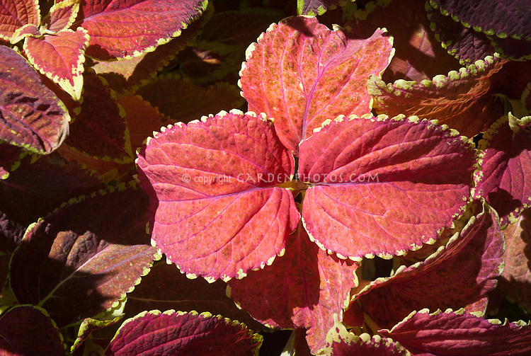 Solenostemon coleus Giant Salmon Coral, with yellow picotee edge, annual foliage plant in ornamental colors and leaf form