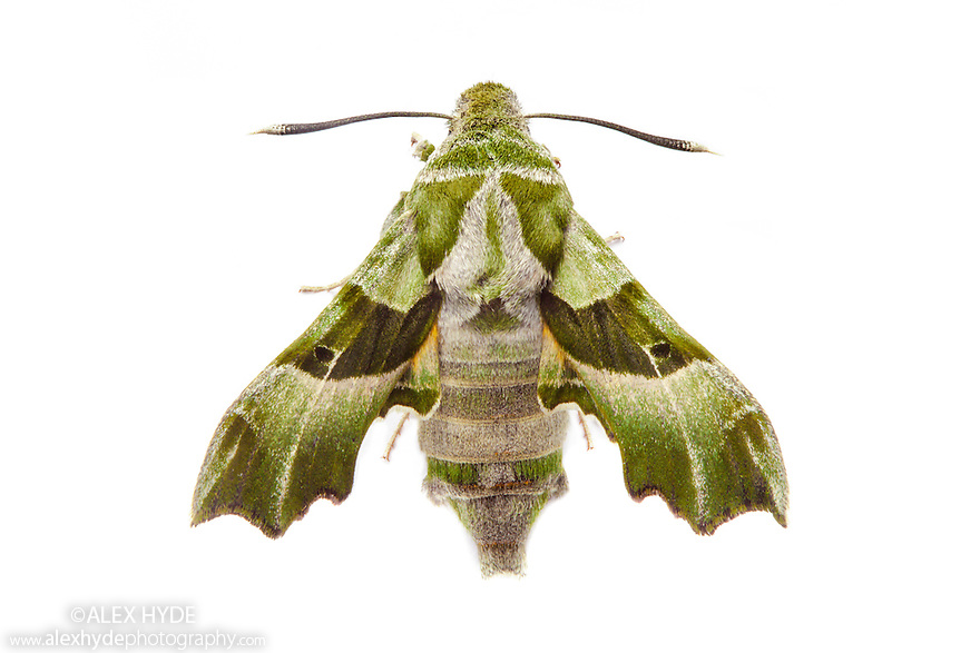 Willowherb Hawkmoth (Proserpinus proserpina) female photographed on a white background. Captive, originating from mainland Europe and a rare immigrant to the UK. website