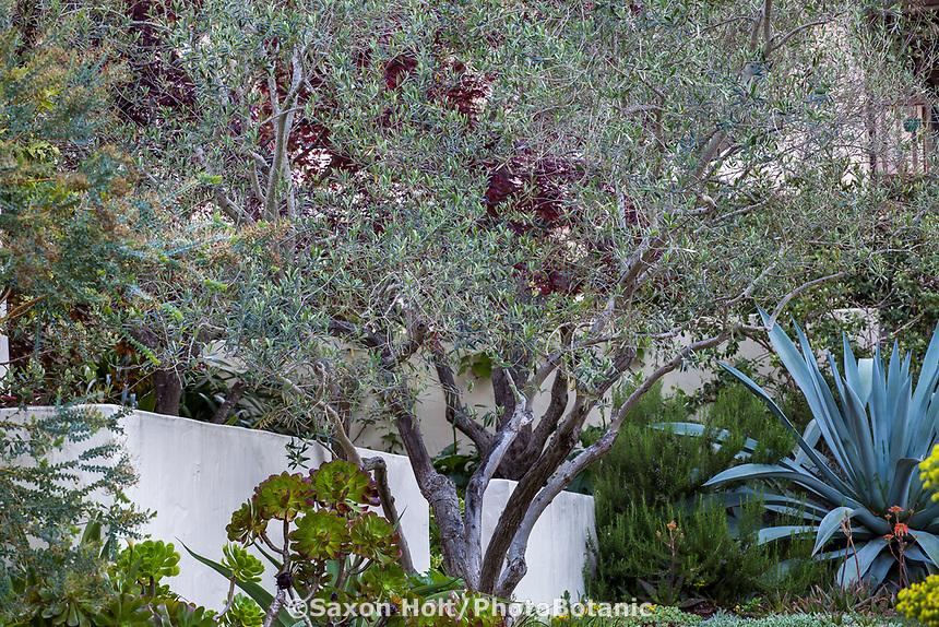 Olea europaea 'Fruitless' (Wilson Fruitless Olive) Gray foliage olive tree; McAvoy Garden - California summer-dry garden; Ground Studio Landscape Architecture