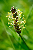 Alpine Plantain - Wild meadow flower - Grindelwald Switzerland