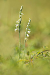 Autumn Lady's Tresses Flower, Spiranthes spiralis, Queensdown Warren, Kent Wildlife Trust, UK, rare orchid, listed in Appendix II of CITES