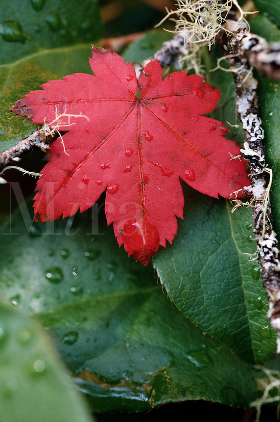 Close up of raindrops on a vine maple leaf in autumn.
