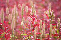 Autumn phase of the fireweed plant with red leaves, Denali National Park, Alaska.
