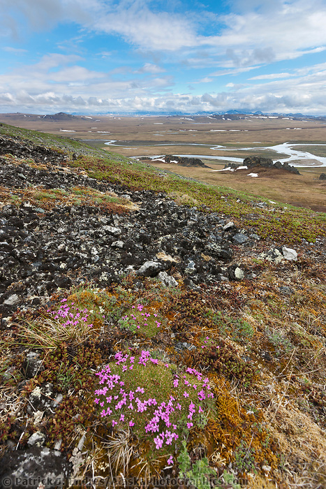 Moss campion blooming on the slopes of Puvakrat mountain, Brooks Range, Etivluk river, National Petroleum Reserve, Alaska.