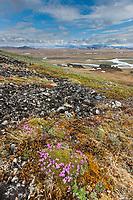 Moss campion blooming on the slopes of Puvakrat mountain, Brooks Range, Etivluk River, National Petroleum Reserve, Alaska.