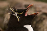 Portrait of a rockhopper penguin calling on West Point Island in the Falkland Islands.
