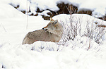 Coyote with Vole, Winter Hunt, Obsidian Cliffs, Yellowstone National Park, Wyoming