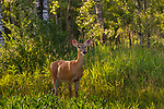 White-tailed doe standing at the forest's edge in northern Wisconsin.