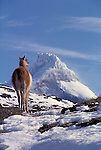 Adult Guanaco standing on snowy hillside with the snow and ice encrusted summit of Paine Grande mountain in the background.Torres del Paine National Park, Chile