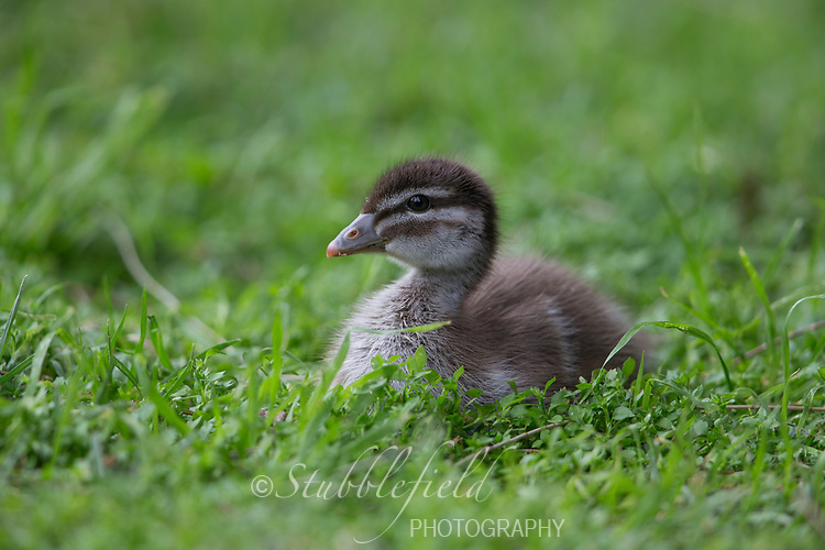 Maned Duck (Chenonetta jubata) duckling in Rymill Park in Adelaide, South Australia.
