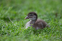 Maned Duck (Chenonetta jubata) duckling in Rymill Park in Adelaide, South Australia.