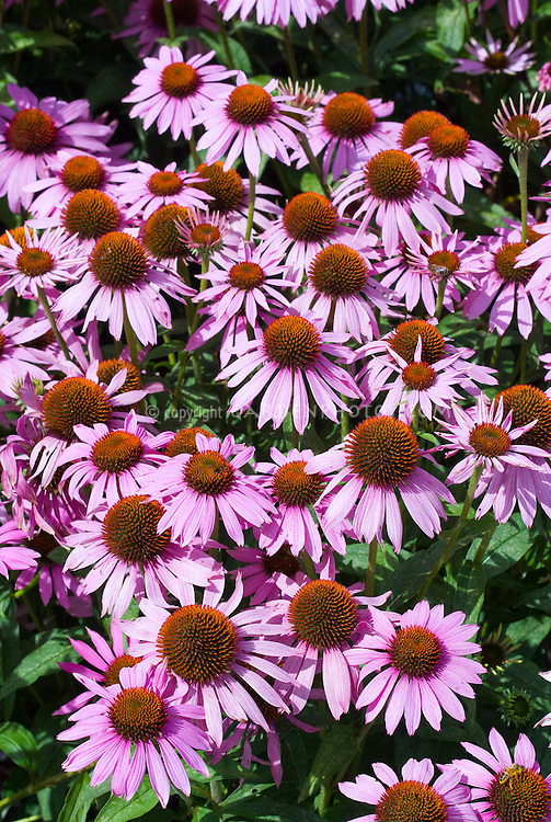 Echinacea purpurea 'Robert Bloom (from seed)