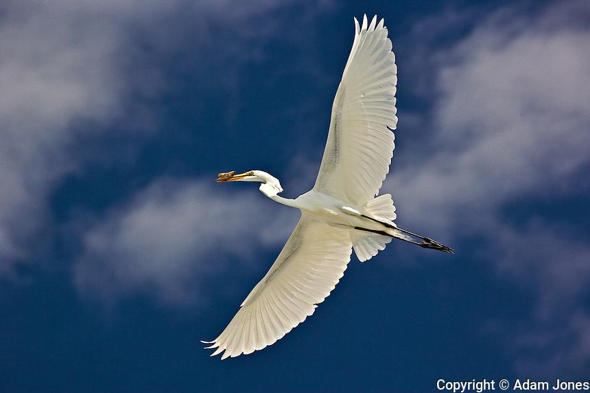 Great Egret in flight, Casmerodius albus, Sanibel Island, Florida