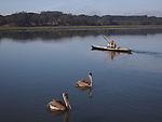 Brown pelicans and kayaker at Elkhorn Slough