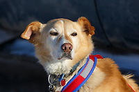 A dog at the 2015 Junior Iditarod start Denali Highway winter<br /> <br /> <br /> <br /> (C) Jeff Schultz/SchultzPhoto.com - ALL RIGHTS RESERVED<br />  DUPLICATION  PROHIBITED  WITHOUT  PERMISSION