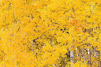 Autumn aspens below Cochetopa Pass, near Gunnison, Colorado.<br /> <br /> Canon EOS 5D Mk II, 70-200 f/2.8L lens with 1.4x teleconverter
