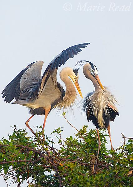 Great Bue Herons (Ardea herodias), pair interacting at a nest, Venice, Florida, USA