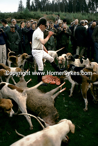 'QUANTOCK STAG HOUNDS', QUANTOCK, SOUTH SOMERSET. THE STAG HAS IT'S FEET CUT OFF AND IS GUTTED FOR THE HOUNDS, 1997