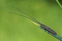 Getreidebock, Getreidebock-Käfer, Getreidebockkäfer, Getreide-Bockkäfer, Grasbock, Calamobius filum, Calamobius gracilis, Grain borer, Longhorn beetle