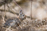 Cottontail Rabbit, Market Lake Wildlife Refuge, Roberts Idaho