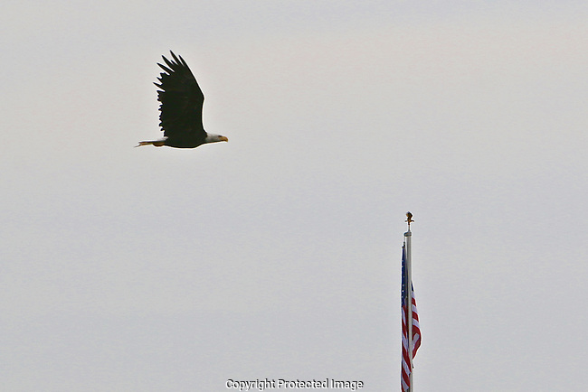 Lucky Bald Eagle timing over July 4th week.