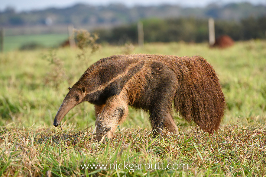 Adult Giant Anteater (Myrmecophaga tridactyla) (sometimes called Giant Ant Bear) foraging. Southern Pantanal, Moto Grosso do Sul State, Brazil. September.