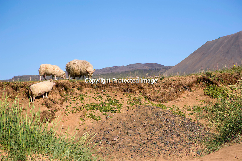 Sheep Grazing in the Lava Field along Budir Coast in West Iceland