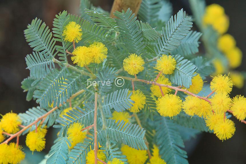 Acacia baileyana 'Purpurea', mimosa de Bailey à feuillage pourpre. // Cootamundra Wattle, Acacia baileyana 'Purpurea'