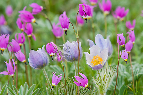 Shooting Stars (Dodecatheon conjugens) and Pasque Flowers (Anemone patens).  Wyoming.  June.