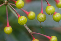Close-up of pink-stemmed green seeds or pods with speckles at Kalopa State park, Hamakua district of the Big Island.