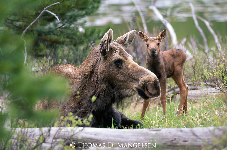 A moose and her calf spend the day in the woods of Grand Teton National Park, Wyoming.