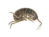 New Zealand Landhopper - Arcitalitrus dorrieni