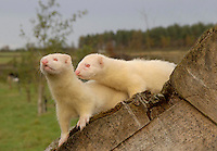 Two ferrets on a log.
