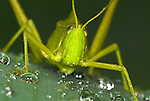 Green Grasshopper, Prionolopha serrata, Manu, Peru, on leaf after rain storm, jungle, water droplets, weather. .South America....