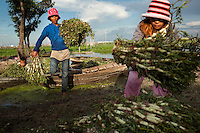 July 14, 2012 - Phnom Penh, Cambodia. Farmers collect water vegetables harvested on Tompun Lake. © Nicolas Axelrod / Ruom