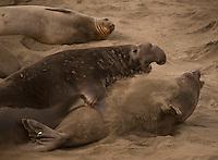 A male Elephant Seal tries to forcefully mate witha female at a colony in Big Sur.