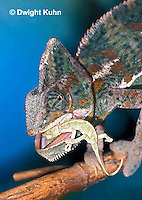 CH49-512z  Male Veiled Chameleon eating juvenile Veiled Chameleon, Chamaeleo calyptratus