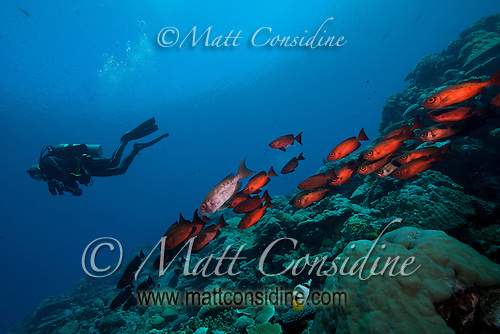 Diver and Glasseye schooling on the reef, Palau Micronesia. (Photo by Matt Considine - Images of Asia Collection) (Matt Considine)