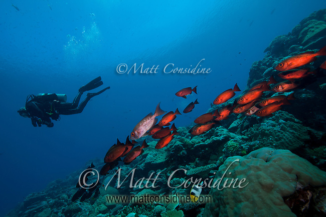 Diver and Glasseye schooling on the reef, Palau Micronesia. (Photo by Matt Considine - Images of Asia Collection)