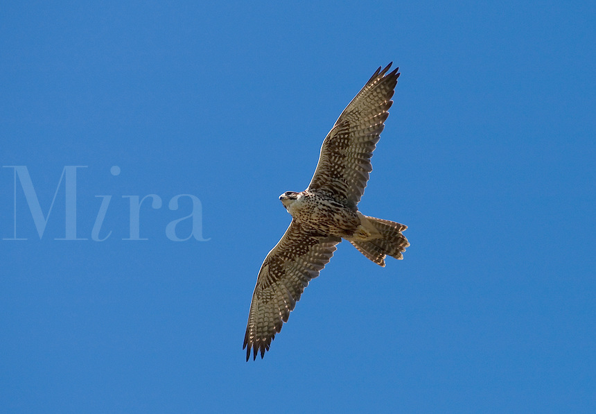 An endangered Saker Falcon (Falco cherrug), native to Southern Europe and Asia, soares above the ground hunting for food