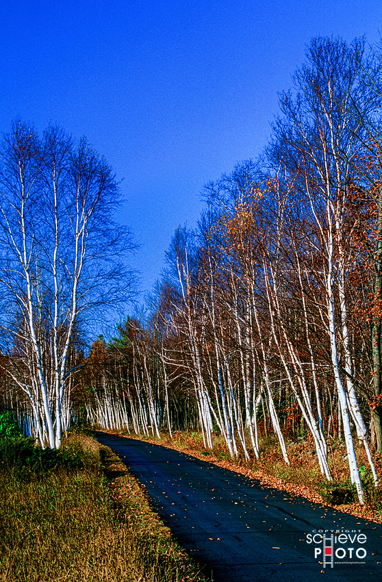 A birch tree lined road in Door County, Wisconsin.