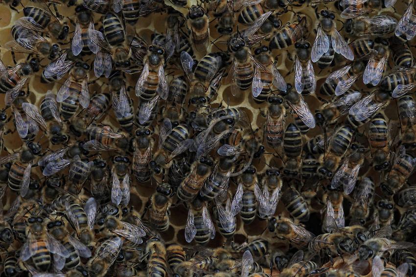 The multitude of bees on a honeycomb.///La multitude des abeilles sur une galette de cire.