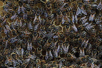 The multitude of bees on a honeycomb.///La multitude des abeilles sur une galette de cire.