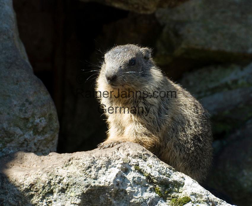 CHE, SCHWEIZ, Kanton Bern, Berner Oberland, Murmeltier (Marmota marmota) | CHE, Switzerland, Bern Canton, Bernese Oberland, Marmot (Marmota marmota)