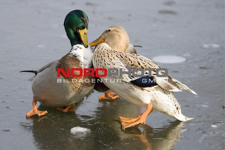 Stockenten (Anas platyrhynchos) streitend, Erpel, Prachtkleid, Ente, Vogel, stehend aus Eis, FlŁgel schlagend <br /> <br /> <br /> Foto: &copy; nordphoto <br /> <br />  *** Local Caption ***