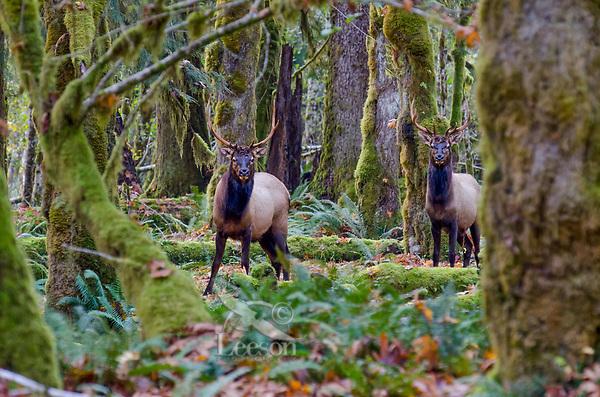 Roosevelt Elk Bulls (Cervus canadensis roosevelti).  Pacific Northwest.  Late October.